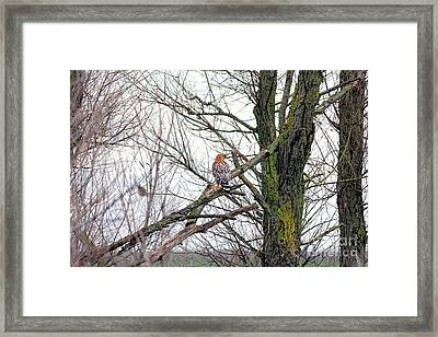 Red Shouldered Hawk Framed Print by Wingsdomain Art and Photography