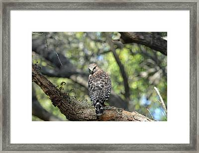 Red Shouldered Hawk With Attitude Framed Print by Aimee L Maher Photography and Art Visit ALMGallerydotcom