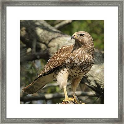 Framed Print featuring the photograph Red Shouldered Hawk With Prey by Bradford Martin