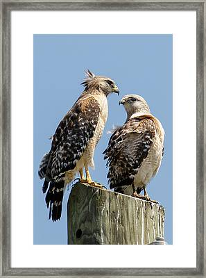 Red-shouldered Hawks Making Out Framed Print by Phil Stone