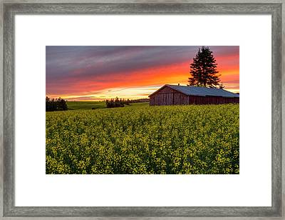Red Sky Over Canola Framed Print by Mark Kiver