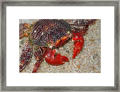Red Spotted Crab Framed Print by Karon Melillo DeVega