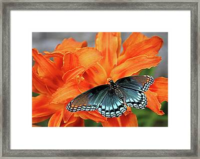 Framed Print featuring the photograph Red Spotted Fritillary by Kristin Elmquist