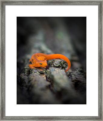 Framed Print featuring the photograph Red Spotted Newt by Chris Bordeleau