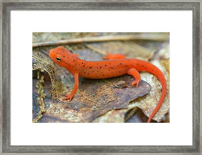 Red Spotted Newt  Framed Print by Derek Thornton