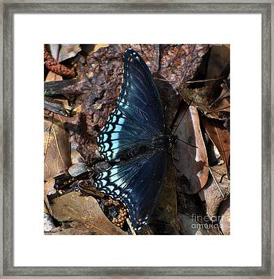 Framed Print featuring the photograph Red Spotted Purple Admiral by Skip Willits