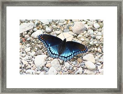 Red Spotted Purple Framed Print by Jeff VanDyke