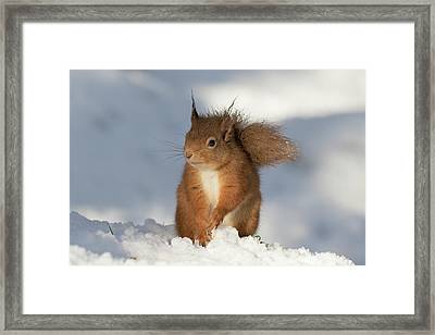 Red Squirrel In The Snow Framed Print