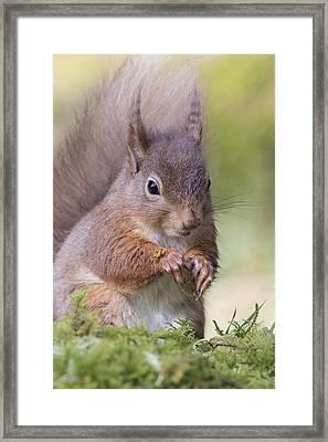 Red Squirrel - Scottish Highlands #1 Framed Print