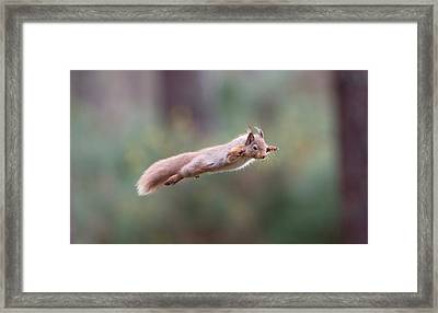 Red Squirrel Leaping Framed Print