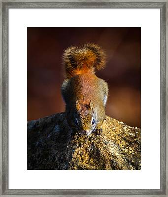 Red Squirrel On A Rock Framed Print