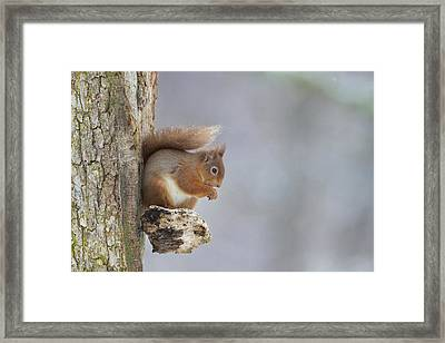 Red Squirrel On Tree Fungus Framed Print