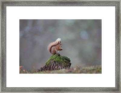 Red Squirrel Peeling A Hazelnut Framed Print