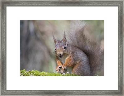 Red Squirrel - Scottish Highlands #26 Framed Print