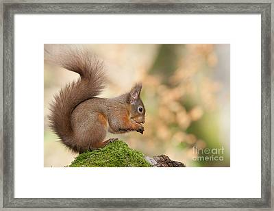 A Moment Of Meditation - Red Squirrel #27 Framed Print
