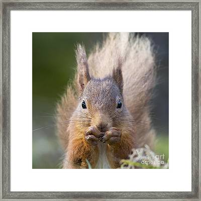 Red Squirrel - Scottish Highlands #28 Framed Print