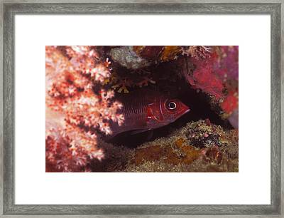 Red Squirrelfish Hiding Under Reef Framed Print by James Forte
