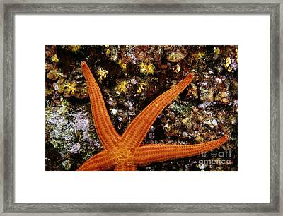 Red Starfish Clinging To A Rock Framed Print by Sami Sarkis