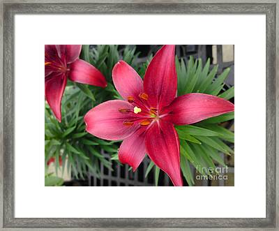 Red Stargazer Lily Framed Print by DebiJeen Pencils