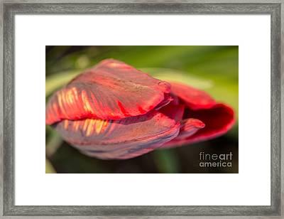 Red Striped Tulip Framed Print