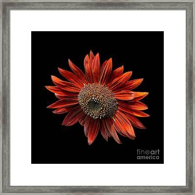 Red Sunflower On Black Framed Print