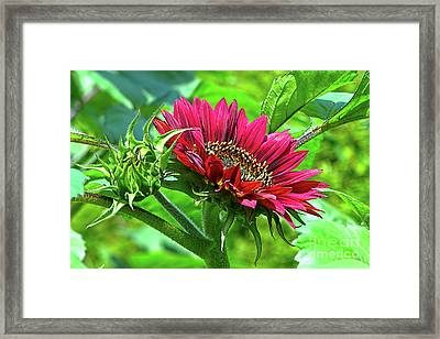 Red Sunflower Framed Print by Sharon Talson
