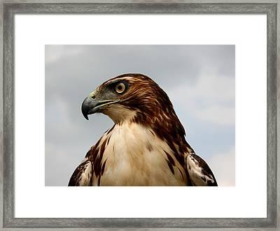 Red Tail Hawk 1 Framed Print