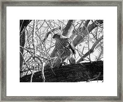 Red Tail Hawk In Black And White Framed Print