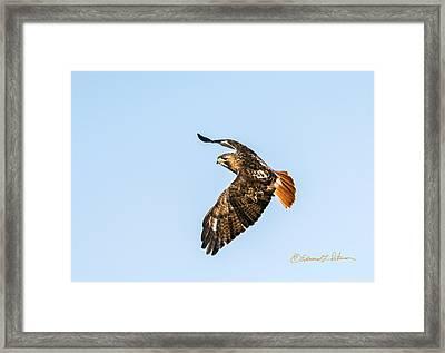 Red-tail Hawk In Flight Framed Print