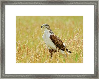 Red Tail Hawk Framed Print by James Steele