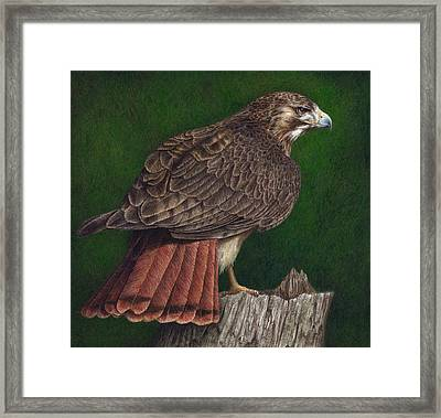 Red Tail Hawk Framed Print by Pat Erickson