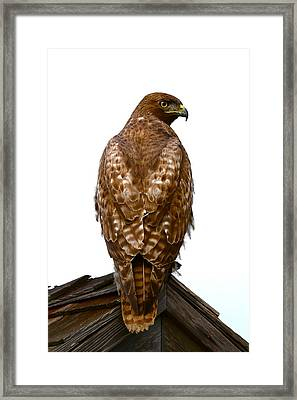 Red Tail Hawk Framed Print by Paul Marto