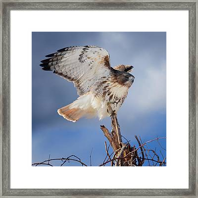 Red Tail Hawk Perch Framed Print by Bill Wakeley