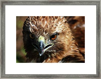 Framed Print featuring the photograph Red-tail Hawk Portrait by Anthony Jones