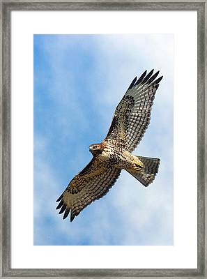 Red Tail Hawk Framed Print by Randall Ingalls