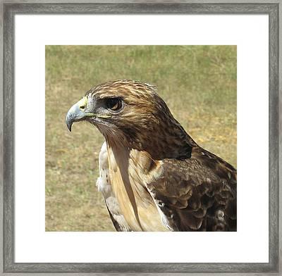 Red Tail Hawk Framed Print by Rebecca Shupp