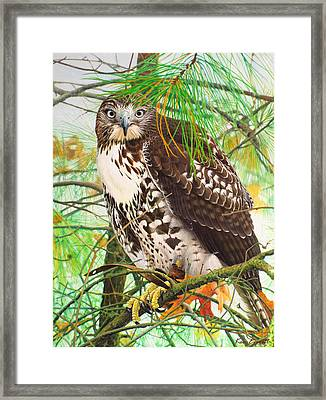 Red Tail Hawk, Thistle Framed Print