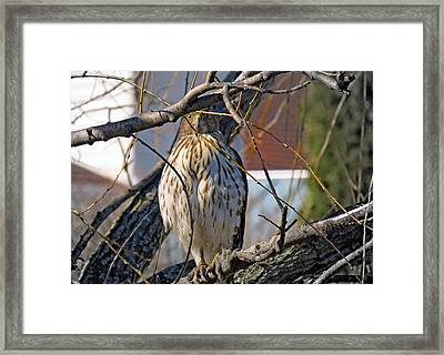 Red Tail Hawk Watching Framed Print