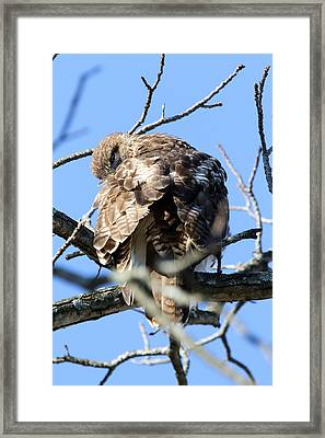 Red Tail II Framed Print by David Yunker