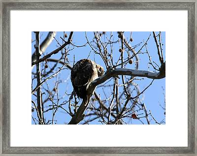 Red Tail IIi Framed Print by David Yunker