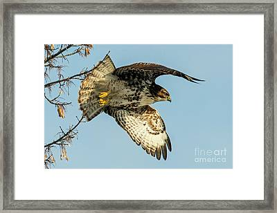 Red-tail  Takeoff Framed Print