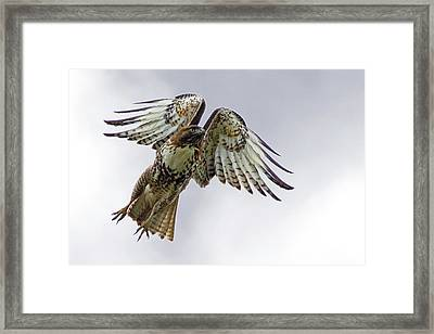 Red Tail Takeoff Framed Print by Randall Ingalls