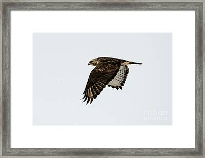 Red-tail Wings Down Framed Print