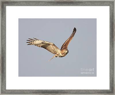 Red Tailed Hawk - 20100101-7 Framed Print by Wingsdomain Art and Photography