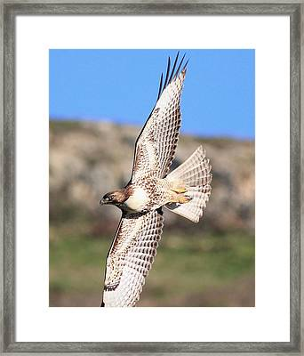 Red Tailed Hawk - 20100101-8 Framed Print by Wingsdomain Art and Photography