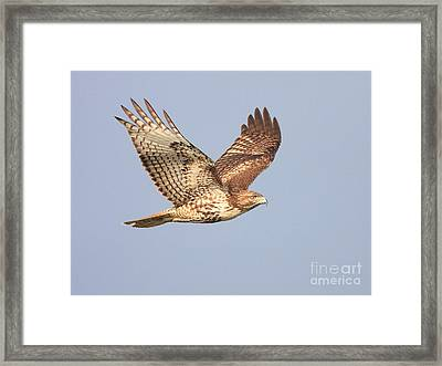 Red Tailed Hawk 20100101-1 Framed Print by Wingsdomain Art and Photography