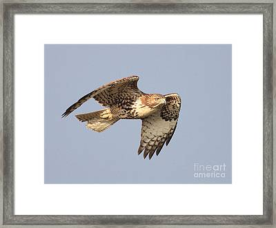Red Tailed Hawk 20100101-2 Framed Print