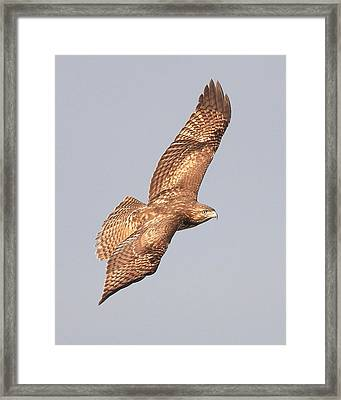 Red Tailed Hawk 20100101-4 Framed Print by Wingsdomain Art and Photography