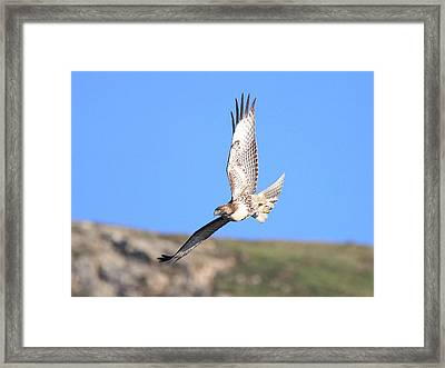Red Tailed Hawk 20100101-6 Framed Print by Wingsdomain Art and Photography