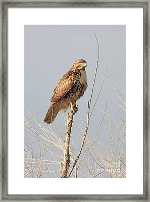 Red-tailed Hawk . 40d11323 Framed Print by Wingsdomain Art and Photography
